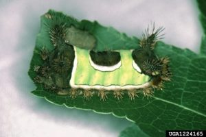 Image of saddleback caterpillar