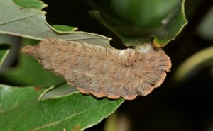 Image of a puss caterpillar