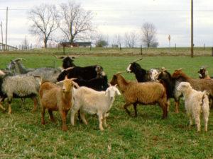 Goats grazing in a North Carolina field