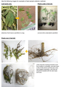 Cover photo for Instructions for Submitting Hemp Samples to the Plant Disease and Insect Clinic