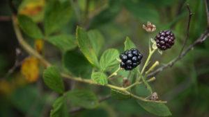 Wild blackberries growing in a forest.